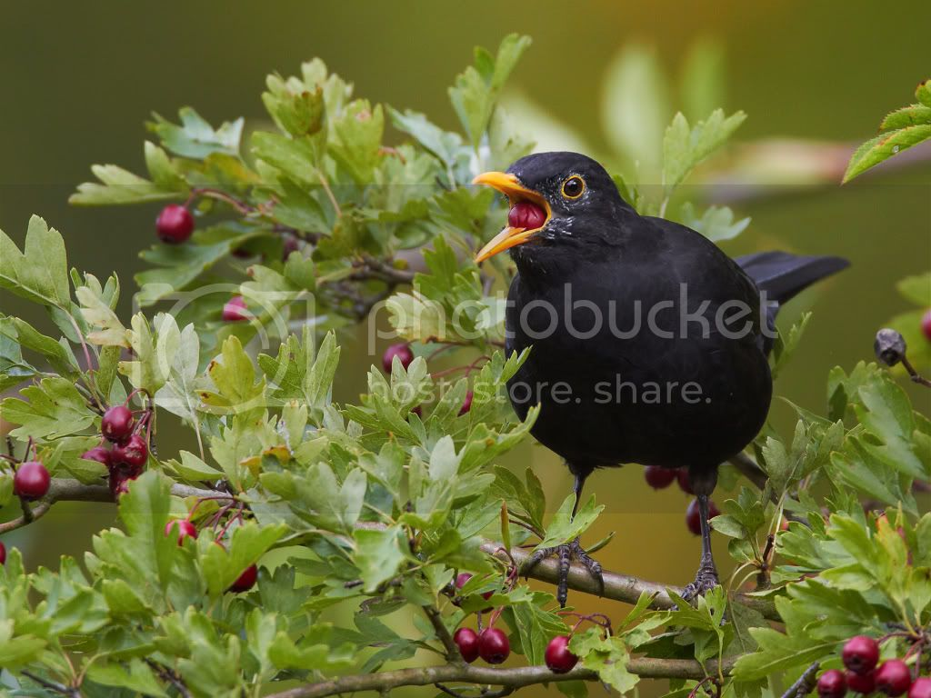 Blackbird Pictures, Images and Photos
